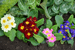 Primrose (Primula vulgaris) at Spruce It Up Garden Centre