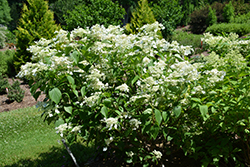 Honeymoon Hydrangea (Hydrangea paniculata 'Honeymoon') at Spruce It Up Garden Centre