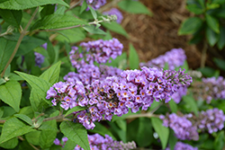 Lo And Behold® Blue Chip Dwarf Butterfly Bush (Buddleia 'Lo And Behold Blue Chip') at Spruce It Up Garden Centre