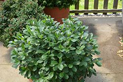 Low Scape® Mound Aronia (Aronia melanocarpa 'UCONNAM165') at Spruce It Up Garden Centre
