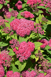 Double Play® Red Spirea (Spiraea japonica 'SMNSJMFR') at Spruce It Up Garden Centre