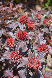 Ginger Wine™ Ninebark (Physocarpus opulifolius 'SMNPOBLR') at Spruce It Up Garden Centre