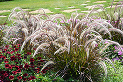 Fountain Grass (Pennisetum setaceum) at Spruce It Up Garden Centre