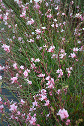 Ballerina Blush Gaura (Gaura lindheimeri 'Ballerina Blush') at Spruce It Up Garden Centre