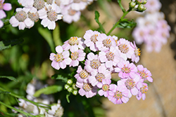 Love Parade Siberian Yarrow (Achillea sibirica 'Love Parade') at Spruce It Up Garden Centre