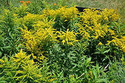 Golden Baby Goldenrod (Solidago canadensis 'Golden Baby') at Spruce It Up Garden Centre