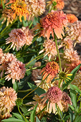 Cone-fections™ Marmalade Coneflower (Echinacea 'Marmalade') at Spruce It Up Garden Centre