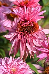 Double Decker Coneflower (Echinacea purpurea 'Double Decker') at Spruce It Up Garden Centre