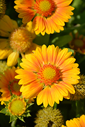 Gallo™ Peach Blanket Flower (Gaillardia aristata 'Gallo Peach') at Spruce It Up Garden Centre