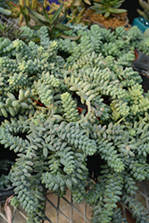Burro's Tail (Sedum morganianum) at Spruce It Up Garden Centre