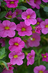 Superbells® Pink Calibrachoa (Calibrachoa 'Superbells Pink') at Spruce It Up Garden Centre