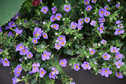 Snowstorm® Blue Bacopa (Sutera cordata 'Snowstorm Blue') at Spruce It Up Garden Centre
