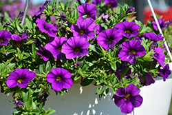 Aloha Kona Dark Lavender Calibrachoa (Calibrachoa 'Aloha Kona Dark Lavender') at Spruce It Up Garden Centre