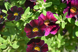 Can-Can® Dark Purple Calibrachoa (Calibrachoa 'Can-Can Dark Purple') at Spruce It Up Garden Centre