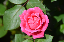 Pink Double Knock Out® Rose (Rosa 'Radtkopink') at Spruce It Up Garden Centre