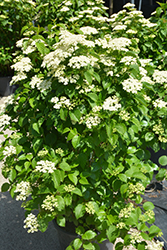 Autumn Jazz Viburnum (Viburnum dentatum 'Ralph Senior') at Spruce It Up Garden Centre