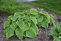 Victory Hosta (Hosta 'Victory') at Spruce It Up Garden Centre