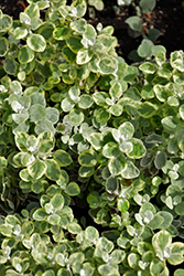 Variegated Licorice Plant (Helichrysum petiolare 'Variegated Licorice') at Spruce It Up Garden Centre