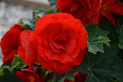 Nonstop® Deep Red Begonia (Begonia 'Nonstop Deep Red') at Spruce It Up Garden Centre