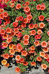Celebration Mandarin Calibrachoa (Calibrachoa 'Celebration Mandarin') at Spruce It Up Garden Centre