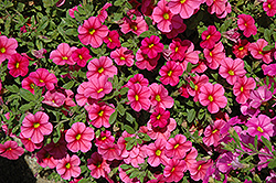 Noa Mega Raspberry Calibrachoa (Calibrachoa 'Noa Mega Raspberry') at Spruce It Up Garden Centre