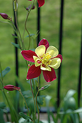 McKana Red and Yellow Columbine (Aquilegia 'McKana Red and Yellow') at Spruce It Up Garden Centre