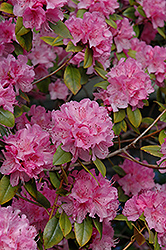 Olga Mezitt Rhododendron (Rhododendron 'Olga Mezitt') at Spruce It Up Garden Centre