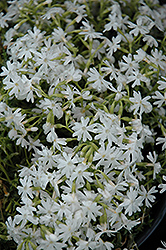 Snowflake Phlox (Phlox subulata 'Snowflake') at Spruce It Up Garden Centre