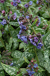 High Contrast Lungwort (Pulmonaria 'High Contrast') at Spruce It Up Garden Centre
