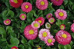 Speedstar Pink English Daisy (Bellis perennis 'Speedstar Pink') at Spruce It Up Garden Centre
