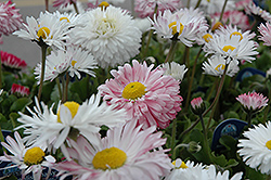 Super Enorma English Daisy (Bellis perennis 'Super Enorma') at Spruce It Up Garden Centre