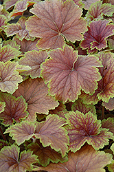 Delta Dawn Coral Bells (Heuchera 'Delta Dawn') at Spruce It Up Garden Centre