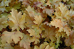Amber Waves Coral Bells (Heuchera 'Amber Waves') at Spruce It Up Garden Centre