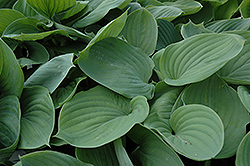 Gentle Giant Hosta (Hosta 'Gentle Giant') at Spruce It Up Garden Centre