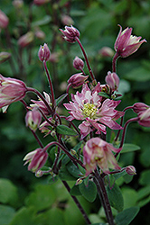 Clementine Rose Columbine (Aquilegia vulgaris 'Clementine Rose') at Spruce It Up Garden Centre