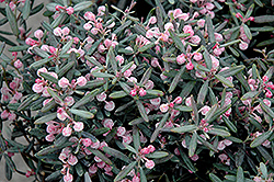 Blue Ice Bog Rosemary (Andromeda polifolia 'Blue Ice') at Spruce It Up Garden Centre