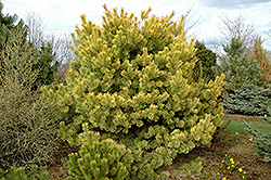 Golden Scotch Pine (Pinus sylvestris 'Aurea') at Spruce It Up Garden Centre