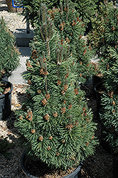 Columnar Mugo Pine (Pinus mugo 'Columnaris') at Spruce It Up Garden Centre