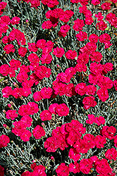 Frosty Fire Pinks (Dianthus 'Frosty Fire') at Spruce It Up Garden Centre