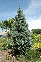 Upright Colorado Spruce (Picea pungens 'Fastigiata') at Spruce It Up Garden Centre