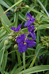 Zwanenburg Blue Spiderwort (Tradescantia x andersoniana 'Zwanenburg Blue') at Spruce It Up Garden Centre