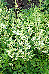Snowdrift Astilbe (Astilbe x arendsii 'Snowdrift') at Spruce It Up Garden Centre