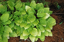 Fire Island Hosta (Hosta 'Fire Island') at Spruce It Up Garden Centre