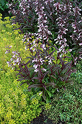 Dark Towers Beard Tongue (Penstemon 'Dark Towers') at Spruce It Up Garden Centre