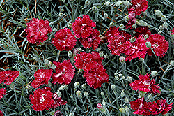 Pomegranate Kiss Pinks (Dianthus 'Pomegranate Kiss') at Spruce It Up Garden Centre