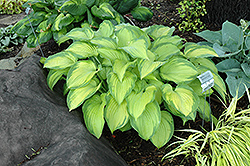 Old Glory Hosta (Hosta 'Old Glory') at Spruce It Up Garden Centre
