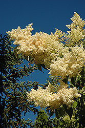Golden Eclipse Japanese Tree Lilac (Syringa reticulata 'Golden Eclipse') at Spruce It Up Garden Centre