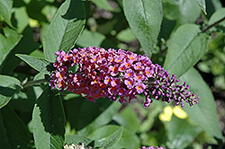 Bicolor Butterfly Bush (Buddleia x weyeriana 'Bicolor') at Spruce It Up Garden Centre