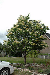 Japanese Tree Lilac (Syringa reticulata) at Spruce It Up Garden Centre