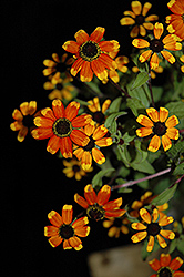 Prairie Glow Brown Eyed Susan (Rudbeckia triloba 'Prairie Glow') at Spruce It Up Garden Centre
